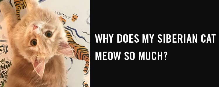 Why does my Siberian cat meow so much?