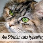 Are Siberian cats hypoallergenic?