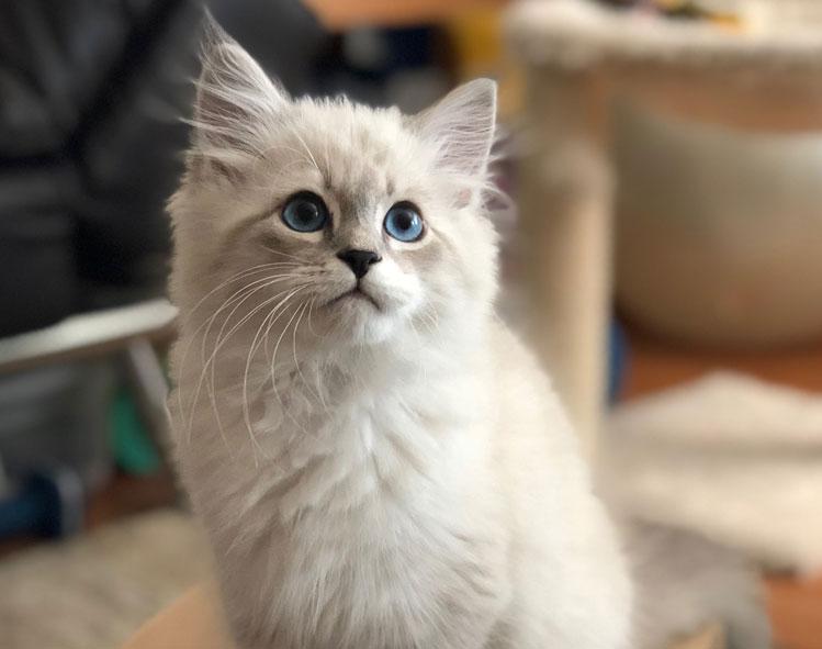 Zuko the Siberian kitten from California