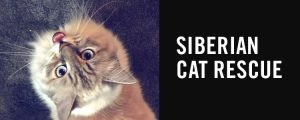Siberian Cat Rescue - update: available Siberians