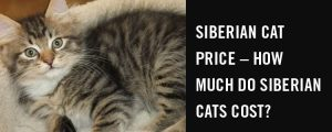 Siberian cat price – how much do Siberian cats cost?