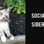 Socialising your Siberian kitten