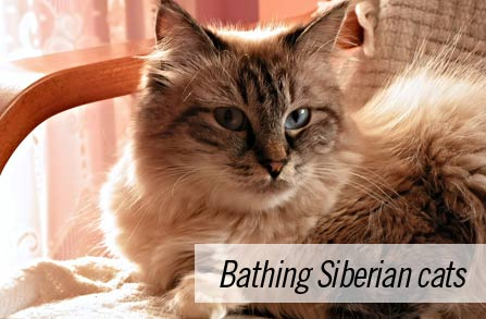 Do you have to bathe Siberian cats?