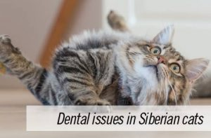 Dental issues in Siberian cats