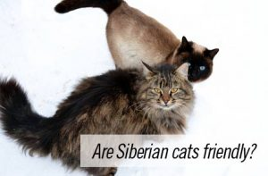 Are Siberian cats friendly