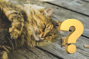 how to choose a reputable siberian cat breeder