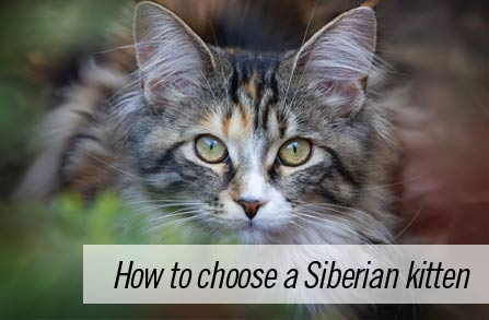 How to choose a Siberian kitten that's right for you