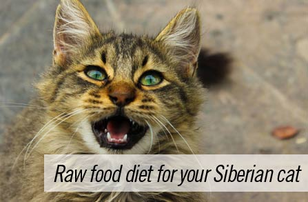 Feeding your Siberian cat raw food diet