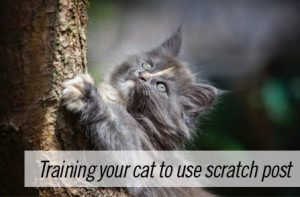 How to train your Siberian cat or kitten to use scratch post