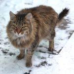 Siberian cats history