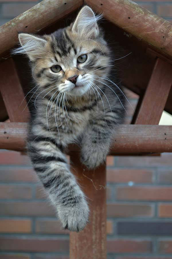 Sepp the Siberian cat