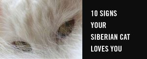 10 Signs your Siberian cat loves you