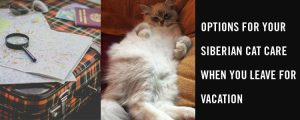 Options for your Siberian cat care when you leave for vacation