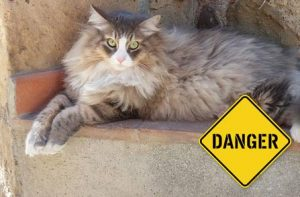 Siberian cat - dangers in your home
