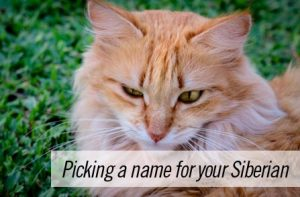 Siberian cat names – picking a name for your Siberian kitten