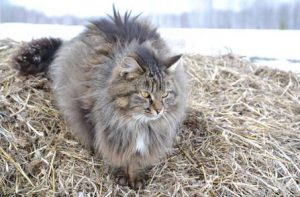 Siberian cat size