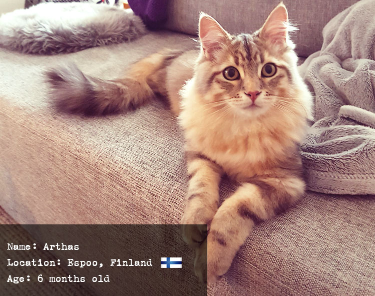 Arthas the Siberian cat from Finland