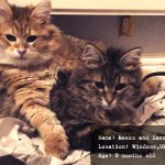 Meeko and Sassie siberian cats