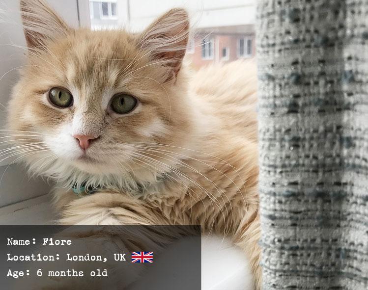 Fiore the Siberian Cat