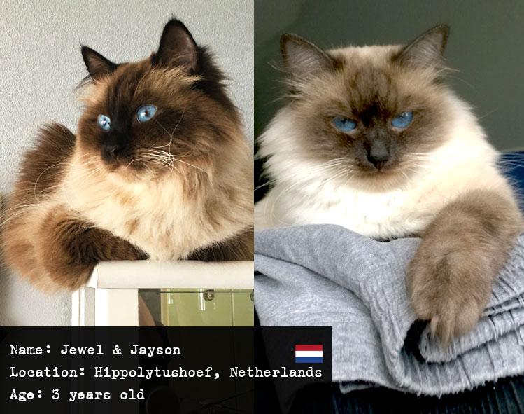 Jewel and Jayson Siberian kitties