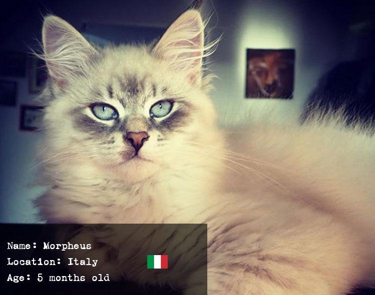 Morpheus the Siberian Kitten