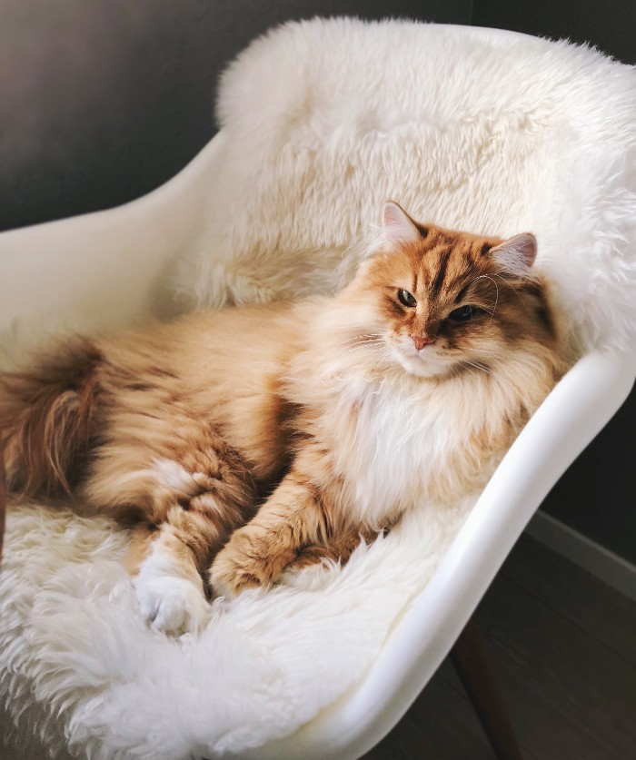 Siberian cats are the BEST companions