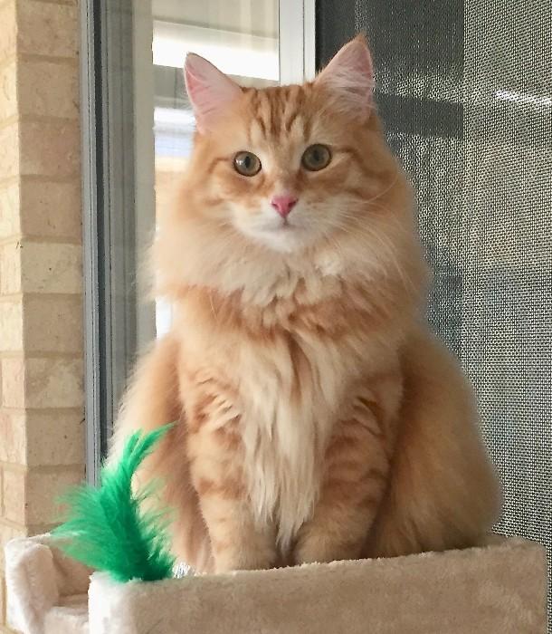 Siberian cat Oliver