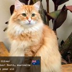 Oliver the Siberian cat from Australia
