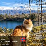 Sniss, the Siberian cat from Norway