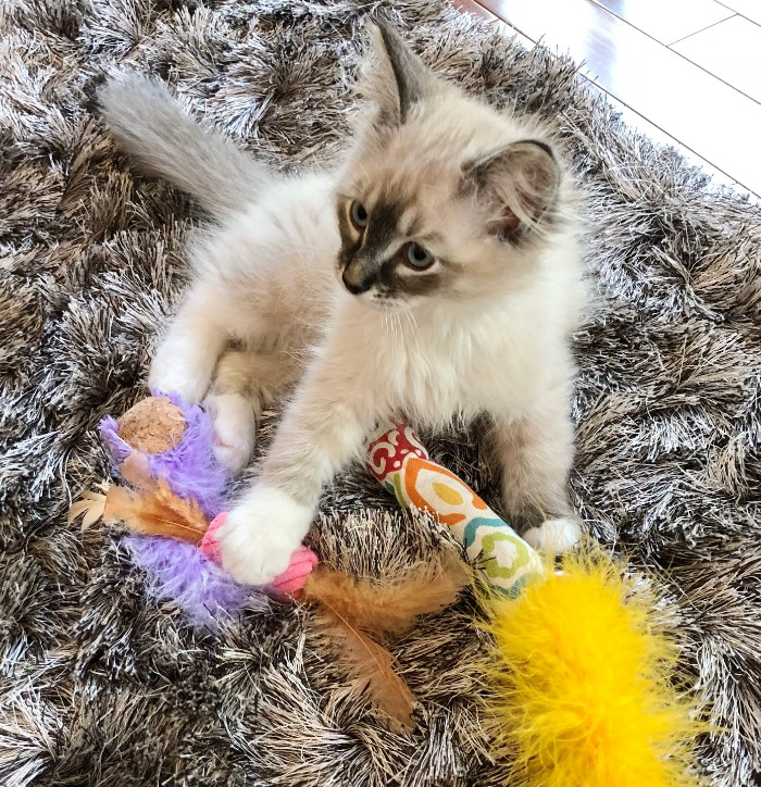 Kahlua and her feather toys