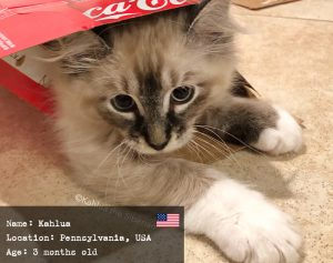 Kahlua, the Siberian kitten named as a drink