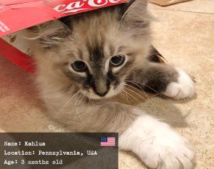 Kahlua, the Siberian kitten named as a drink