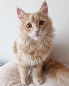 Neko the Siberian cat from Paris