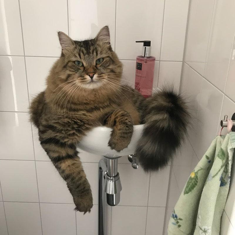 Sepp the Siberian kitty from Netherlands
