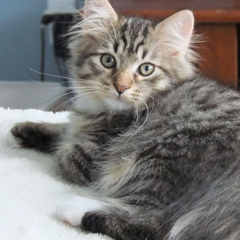 Miloš the Siberian cat from Canada