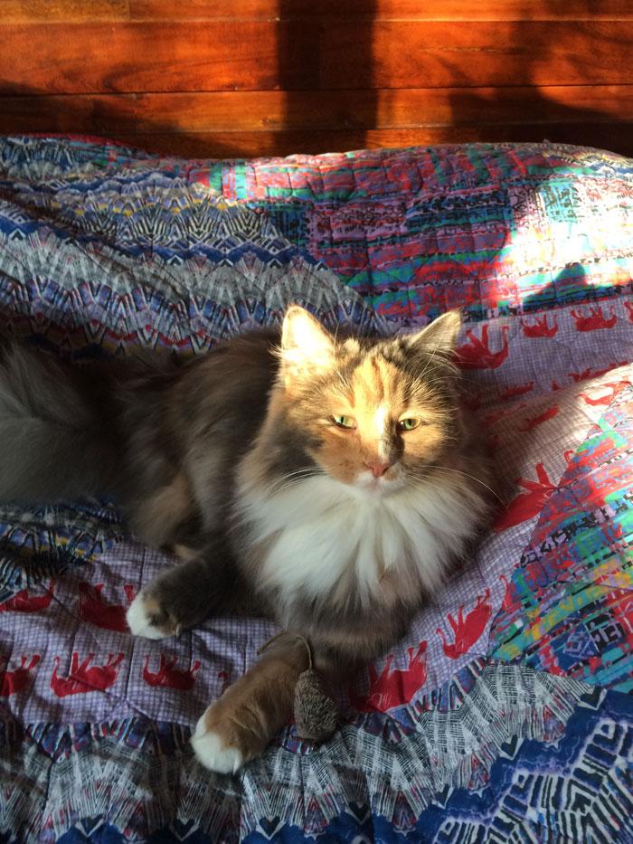 Moubani Cats – Siberian cat breeder in Seattle - kitten