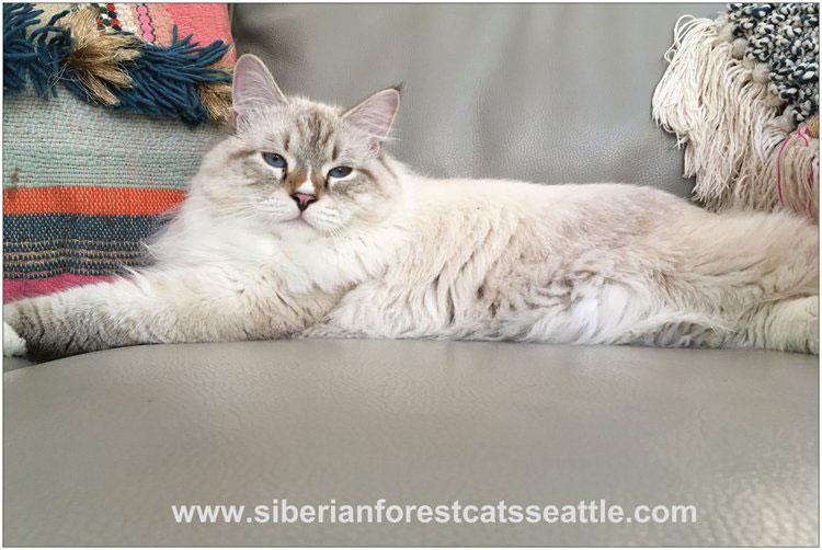 Moubani Cats – Siberian cat breeder in Seattle