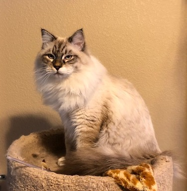 Siberian Cat Breeders in California and Arizona