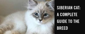 Siberian cat - a complete guide to the breed