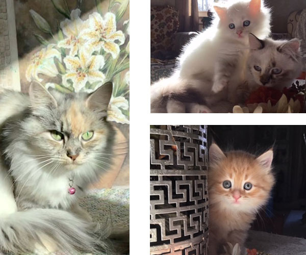 Siberian cat breeders Connecticut kitten collage