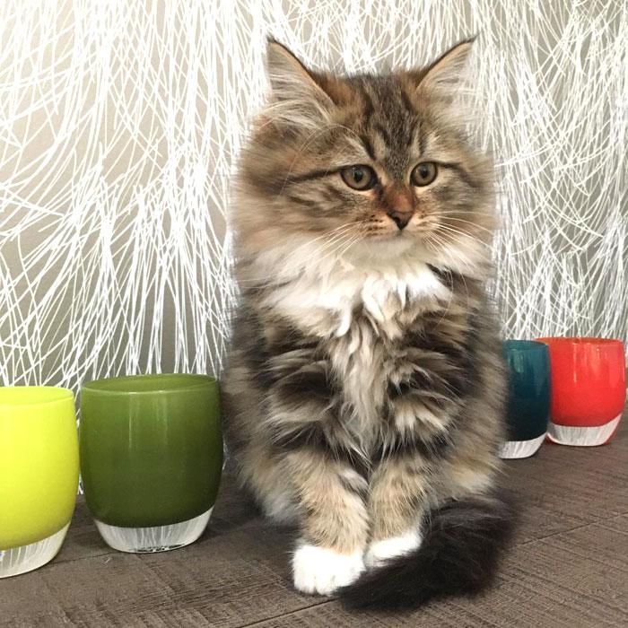 Moubani Cats – Siberian cat breeder in Seattle - 2