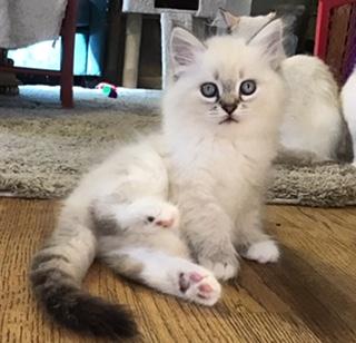 Siberian cat breeders Connecticut kitten