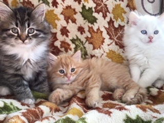 Siberian cat breeders Connecticut kittens