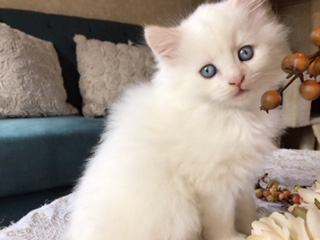 Siberian cat breeders Connecticut white kitten